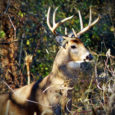 White Buck Deer
